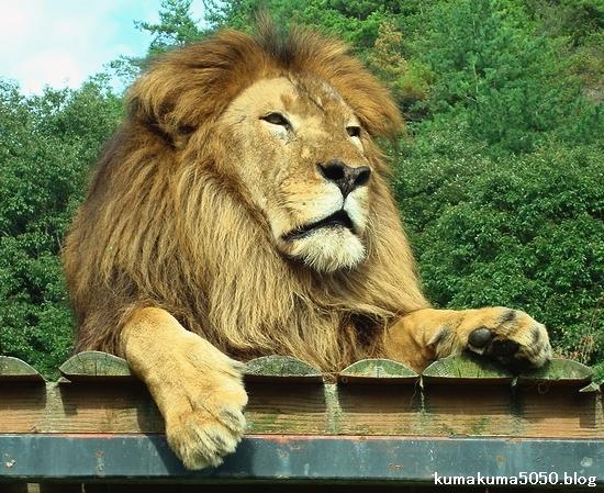 ライオン_323