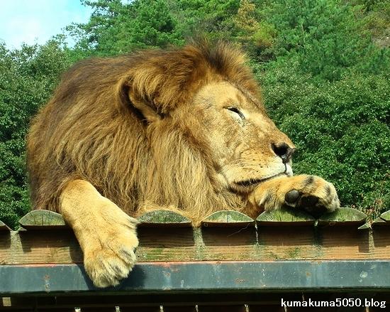 ライオン_322