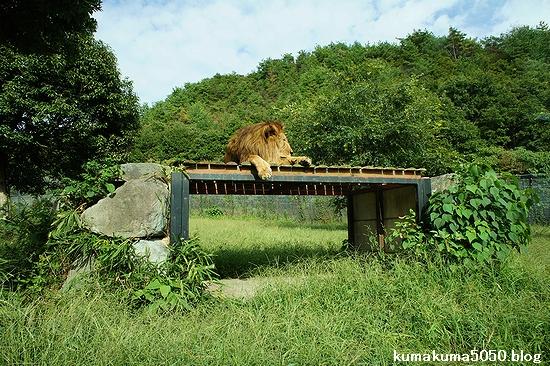 ライオン_320