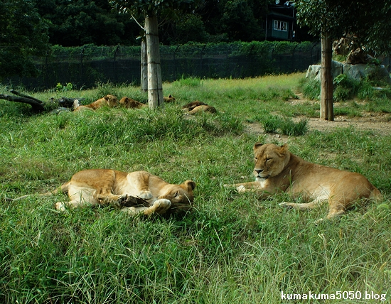 ライオン_329