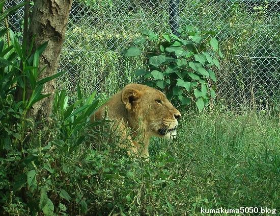 ライオン_328