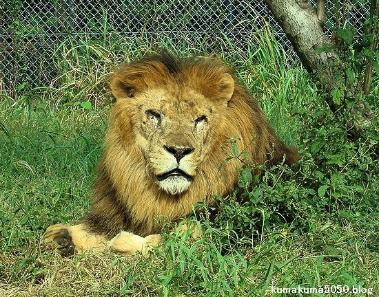 ライオン_326