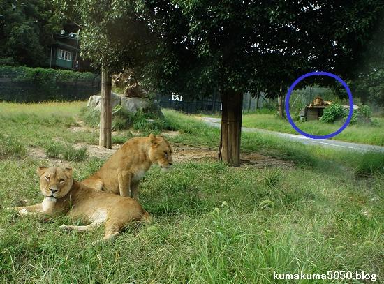 ライオン_333