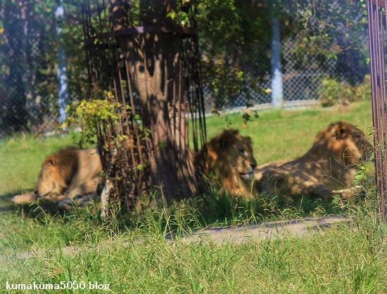 ライオン_339