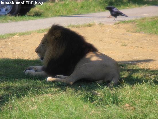 ライオン_336