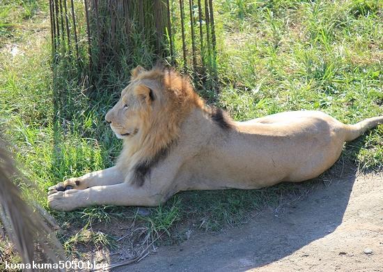 ライオン_344