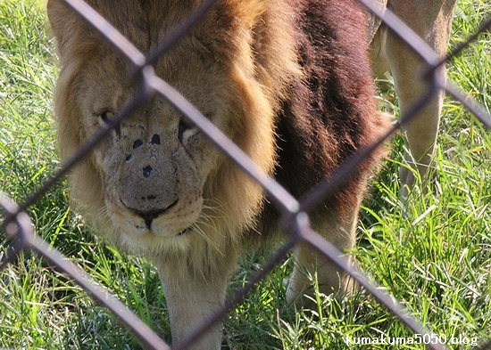 ライオン_352