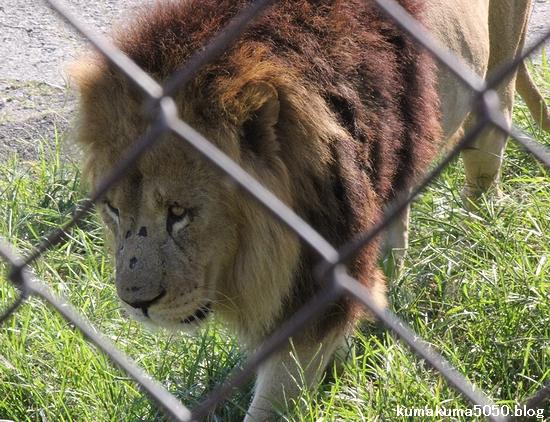 ライオン_351