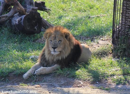 ライオン_349