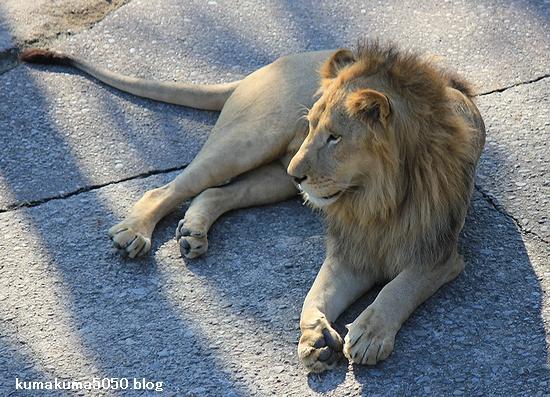 ライオン_350