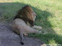 ライオン_359