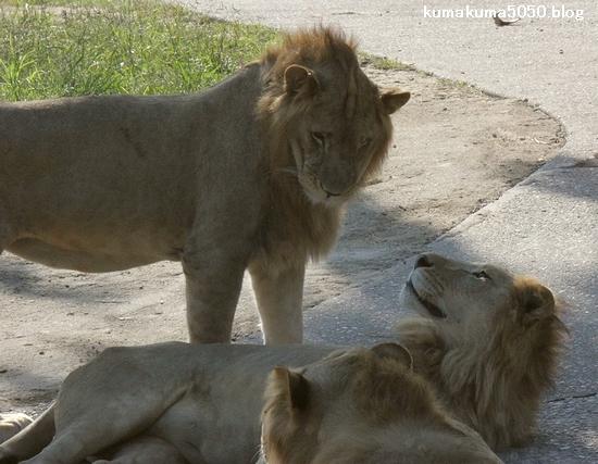 ライオン_366