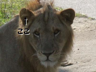 ライオン_375