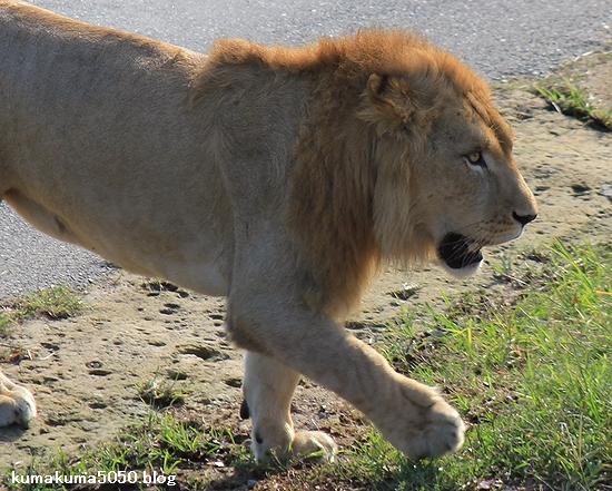 ライオン_384