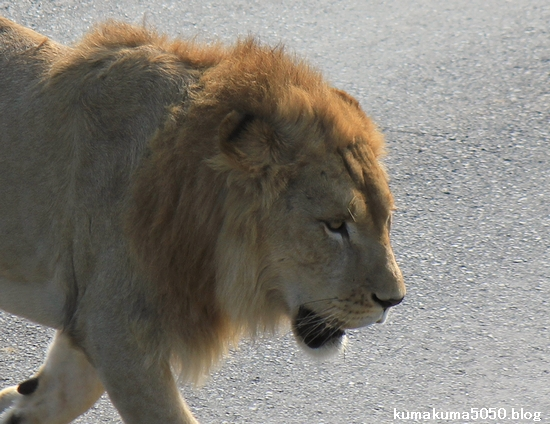 ライオン_383
