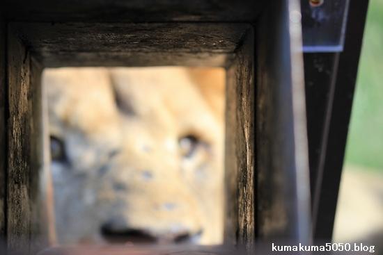 ライオン_393