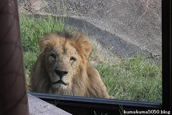 ライオン_392
