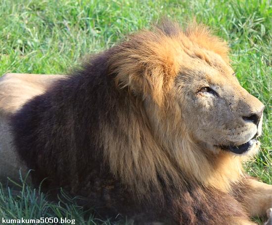 ライオン_395