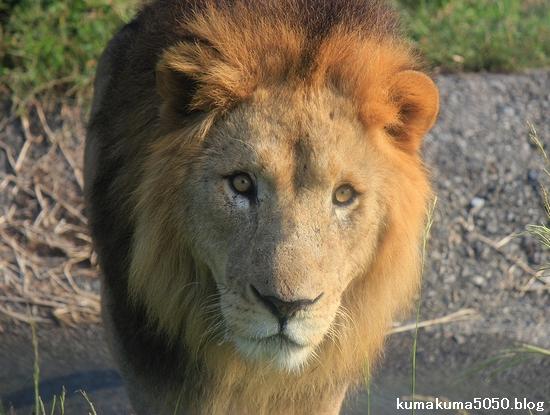ライオン_394