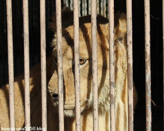 ライオン_399