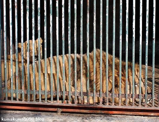 ライオン_397