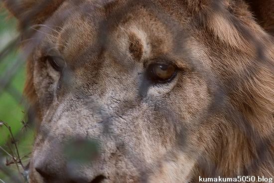 ライオン_407