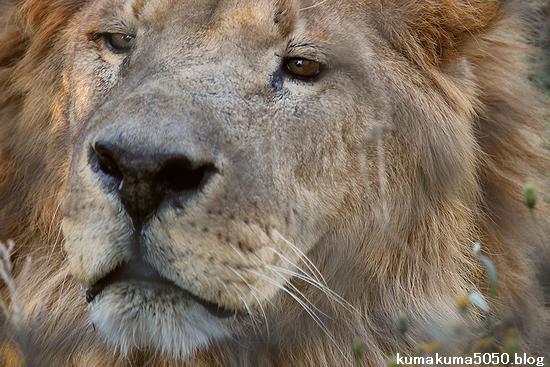 ライオン_406
