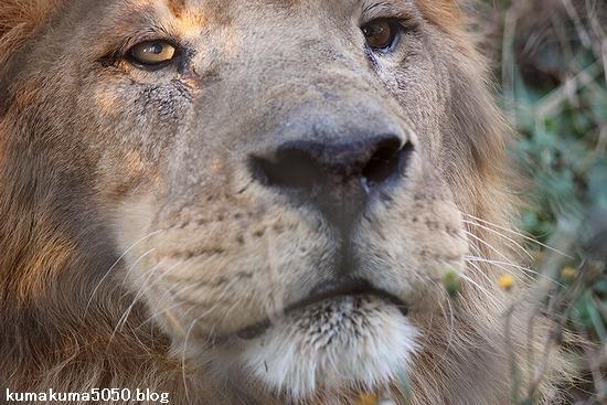 ライオン_404