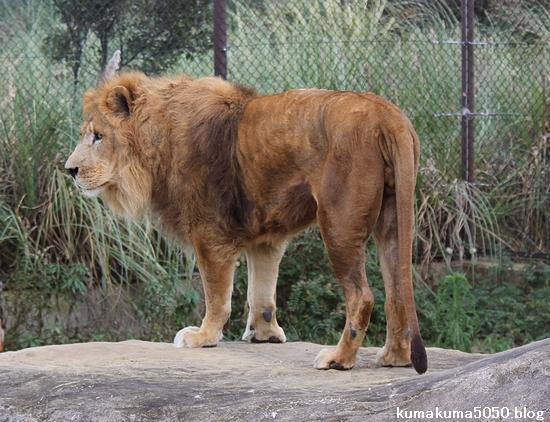 ライオン_413