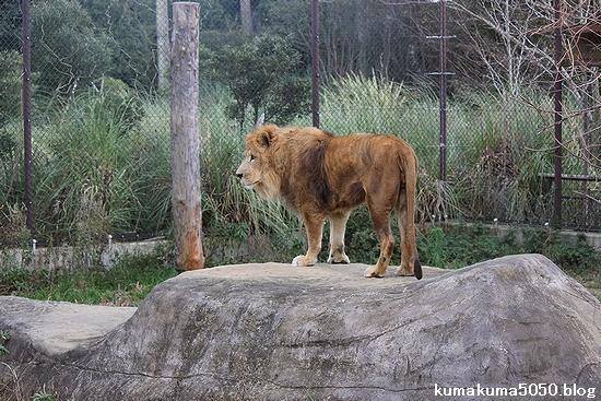 ライオン_412