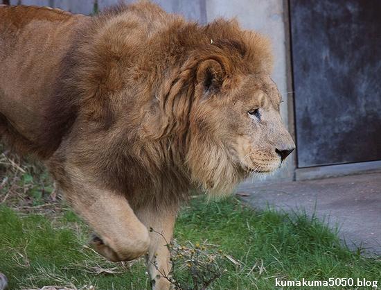 ライオン_411