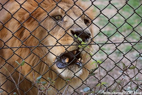 ライオン_410