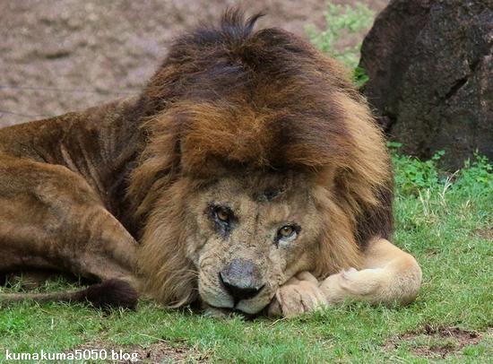 ライオン_416