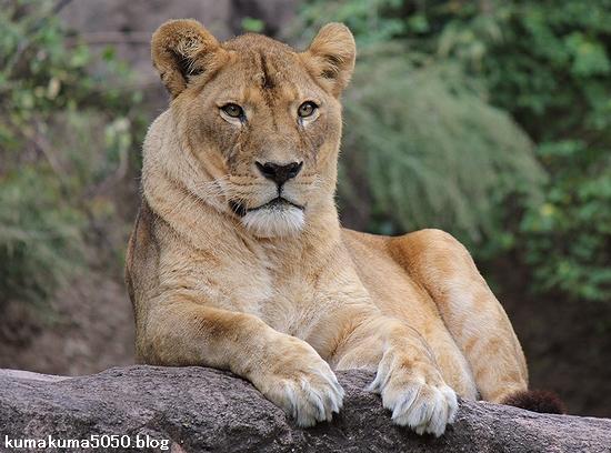 ライオン_435