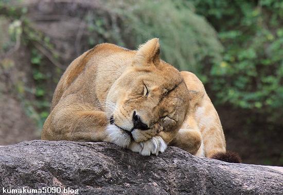 ライオン_434