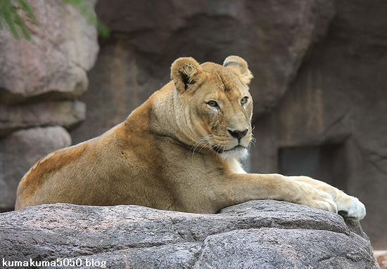 ライオン_431
