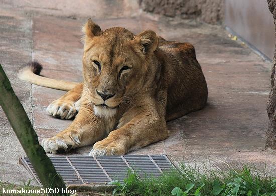 ライオン_432