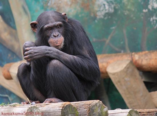 チンパンジー_1