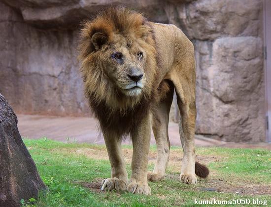 ライオン_436