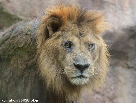 ライオン_453