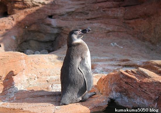 フンボルトペンギン_39