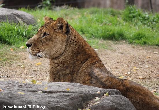 ライオン_479