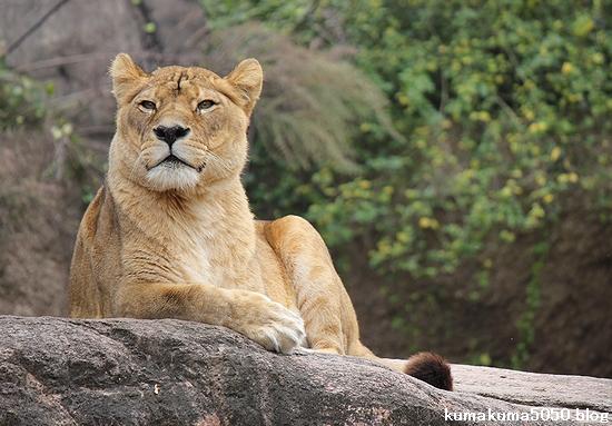 ライオン_481