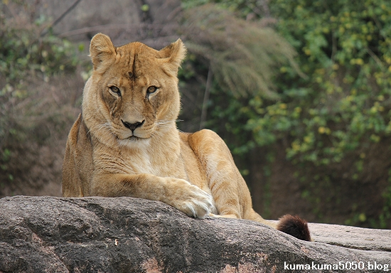 ライオン_483