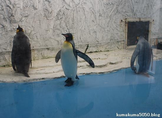 キングペンギン_8