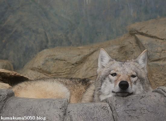 チュウゴクオオカミ_1