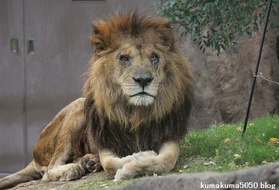 ライオン_493