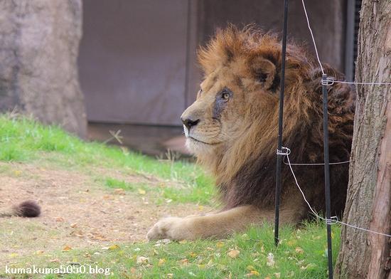 ライオン_492