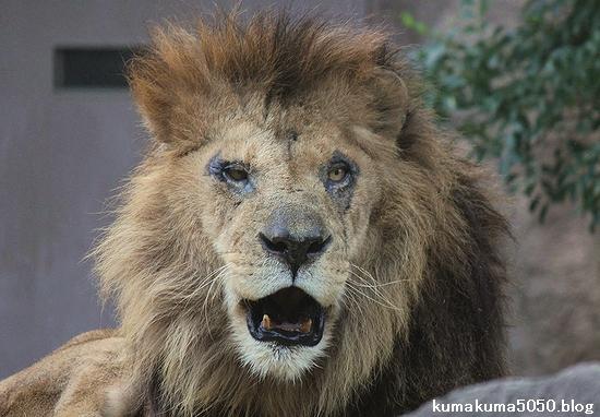ライオン_500