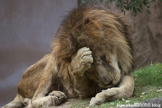 ライオン_498